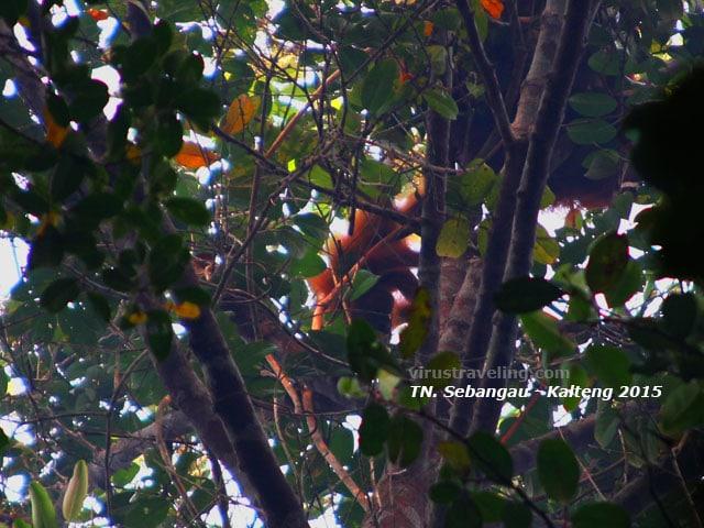 orang-utan-taman-nasional-sebangau