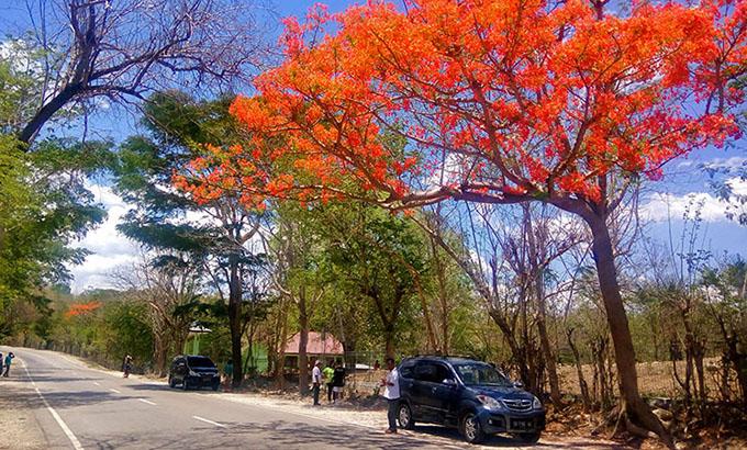 Pohon Flamboyan